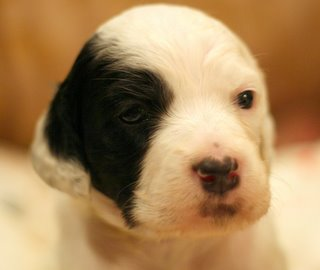 Week 3 photo of Catalina, a female white/black Llewellin Setter puppy, out of Jenna x Steele