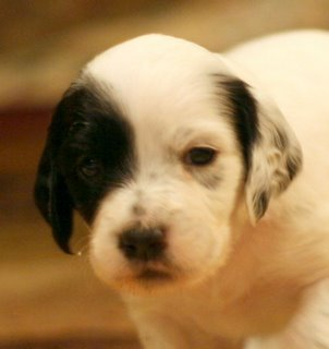 #7: Torino, female white/black Laurel Mountain Llewellin Setter puppy