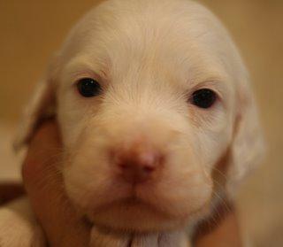 #8: Rambler, male Belton Laurel Mt. Llewellin Setter Puppy