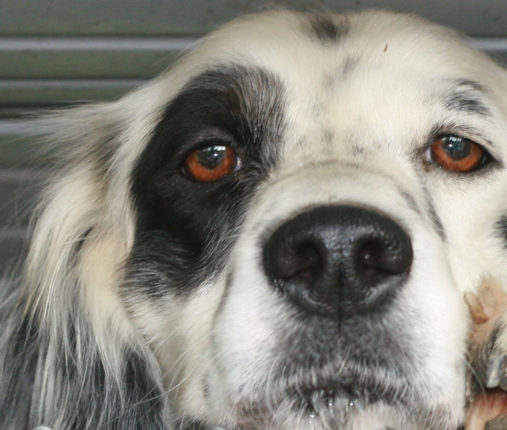 Ranger, a 1.5-year old Llewellin Setter male, says he is watching you! :)