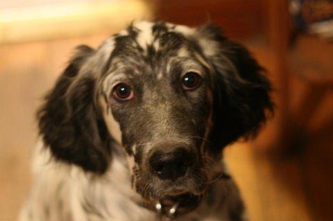 Ben, a Laurel Mountain Llewellin Setter puppy