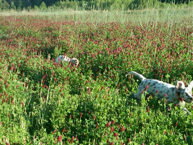 Rizzi and Ruger Running in the Clover