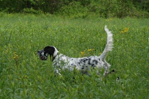 Laurel Mt Llewellin Setter pup, Cheyenne