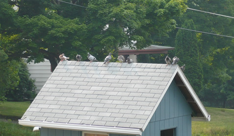 Pigeons on top of the loft
