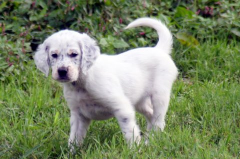 Madison, female tri-color Llewellin Setter puppy