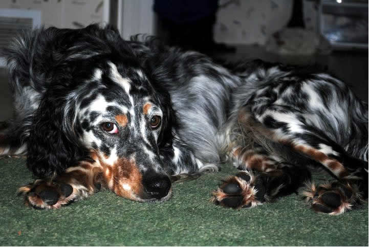 Chase, tri-color male Llewellin Setter.