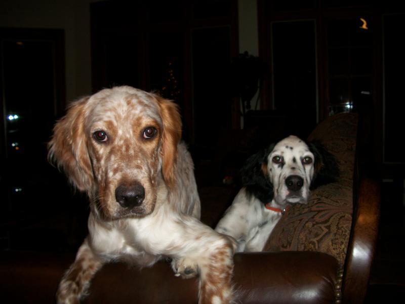 Copper and Caleb, Llewellin pups