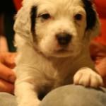 Rocco (male - tri-color)