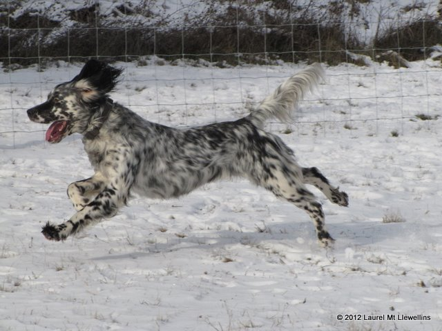 The magnificent Llewellin Setter, Steele