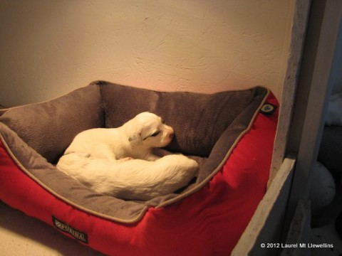 Enjoying the puppy bed.