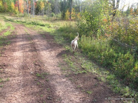 Jenna hunting a northwoods trail