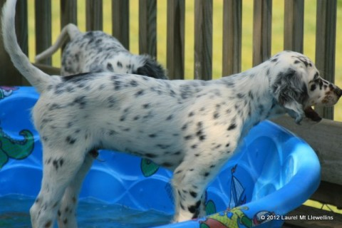 Beautiful Seger Puppy (male Mia x Ike and available)