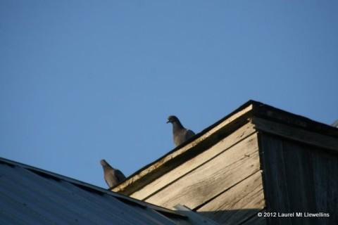 Barn Pigeons