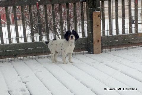 Brier puppy enjoying the snow!