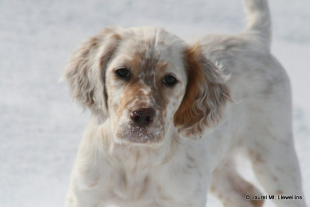 Allie, a lovely Laurel Mt Llewellin Setter Puppy