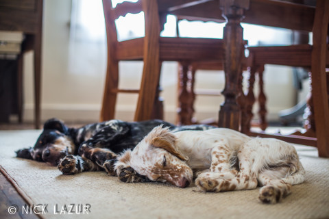 A photo of our Llewellin Setter pups, Cowboy and Allie. Taken by Nick Lazur