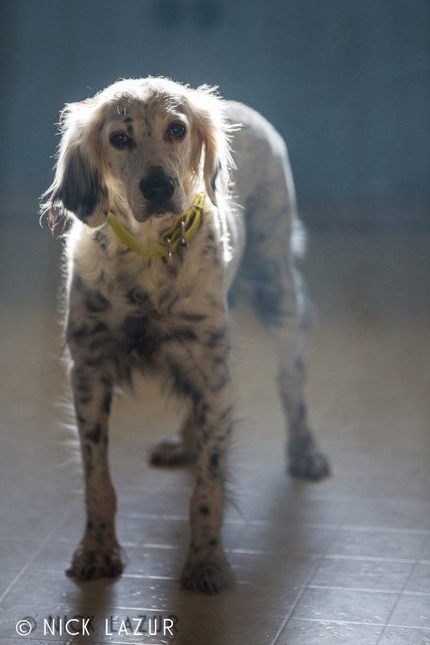 Our Llewellin Setter, Maisy. Photography by Nick Lazur