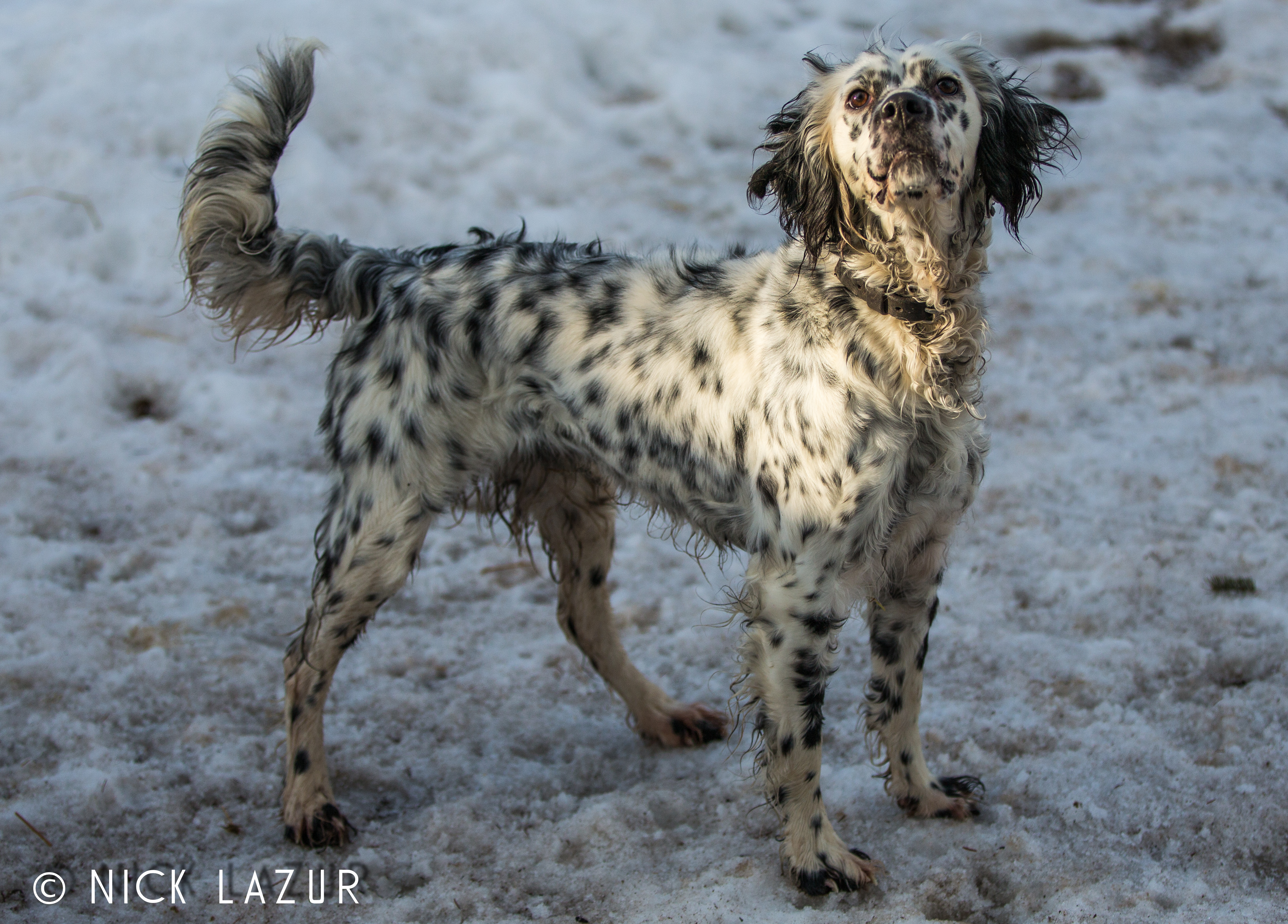 1000  images about llewellin setters on pinterest