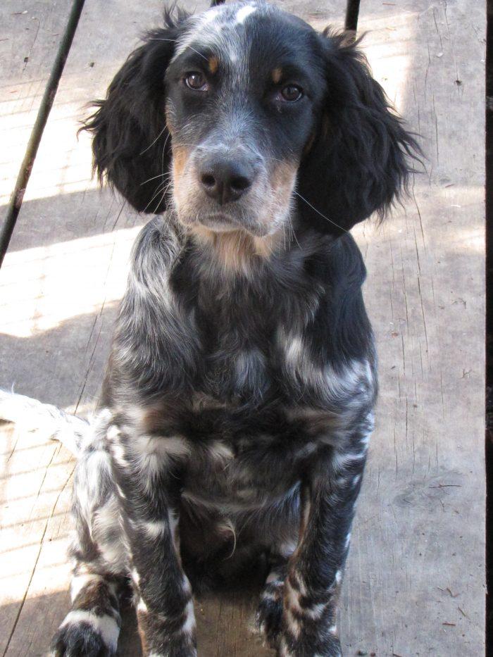 Cowboy, a beautiful, brilliant, Laurel Mt. Llewellin Setter male pup
