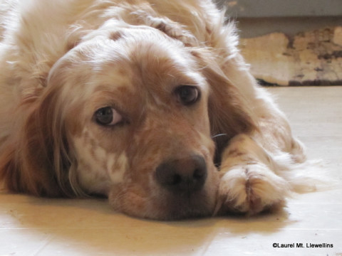 Nash, Llewellin Setter, waiting for puppies