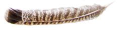 grouse-feather-horizontal