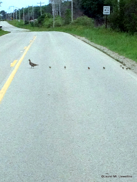 Ruffed Grouse and her brood