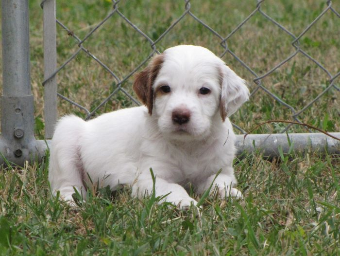 Male Orange/White Llewellin Setter Puppy out of Addie by Ike