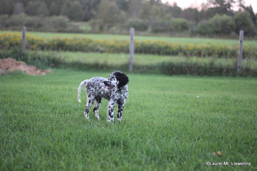 Annie, female white/black Llewellin Setter Puppy