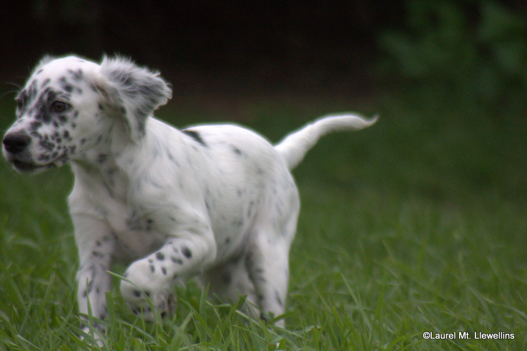 Cat:White/Black female Llewellin Setter Puppy