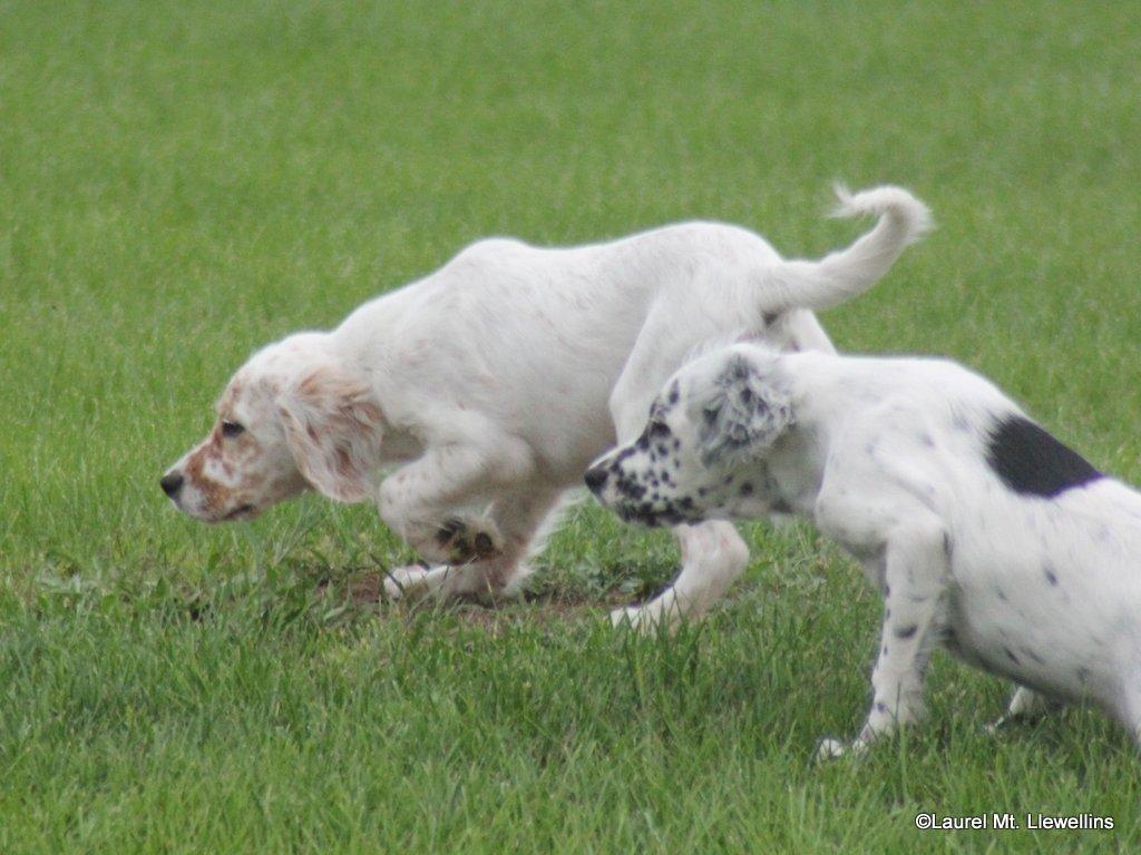 Clair & Cat - Llewellin Setter Puppies