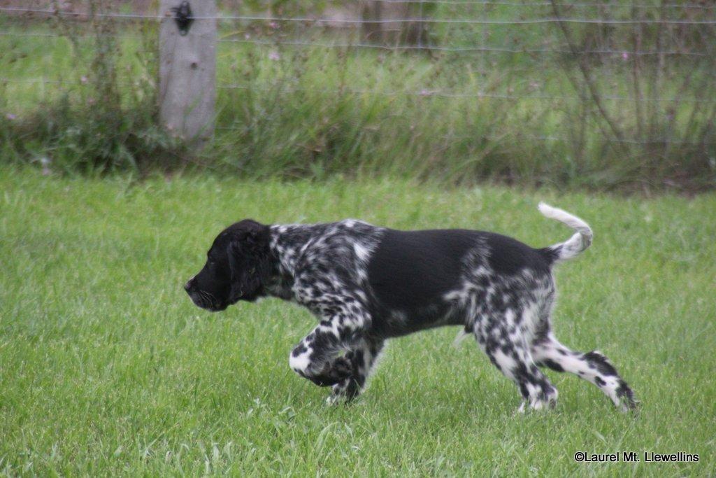 Moss - white/black male Llewellin Setter puppy