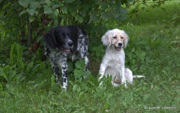 Moss and Clair: Llewellin Setter Puppies