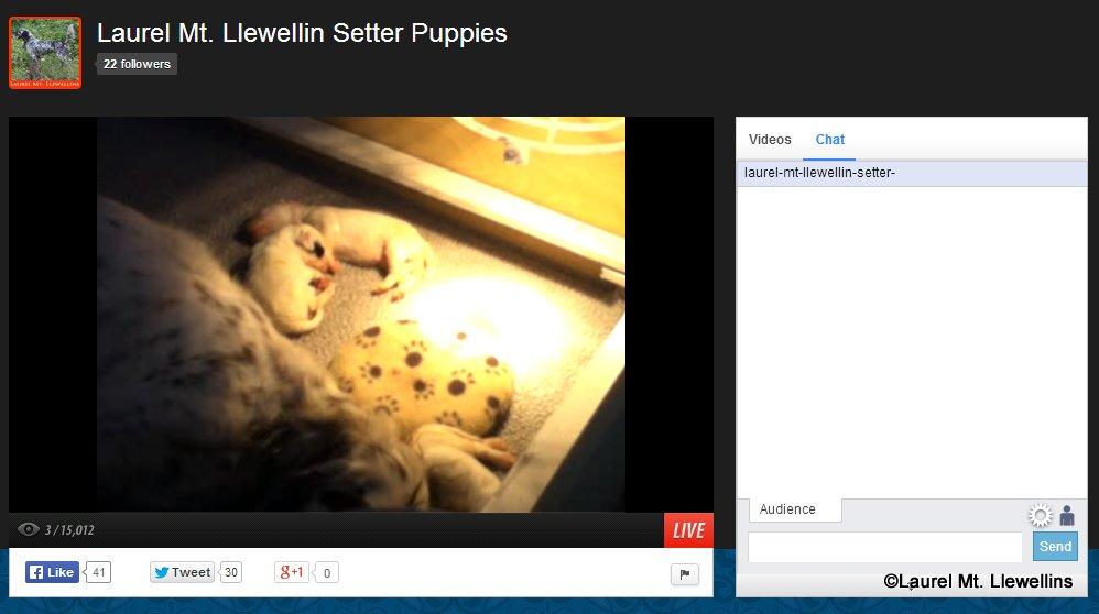 Laurel Mt Llewellin Setters Live Puppy Cam