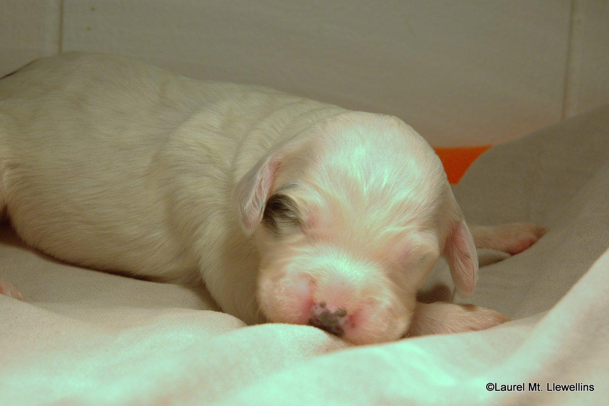 """#6: Male - White/Black (with small black spot on back) """"Pax"""""""