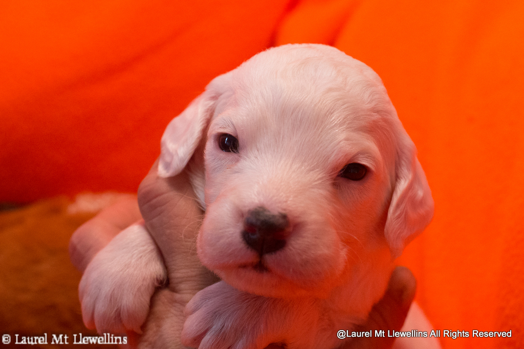 #7: Quintus - Male: Belton (I believe he will be a blue or tri-color)
