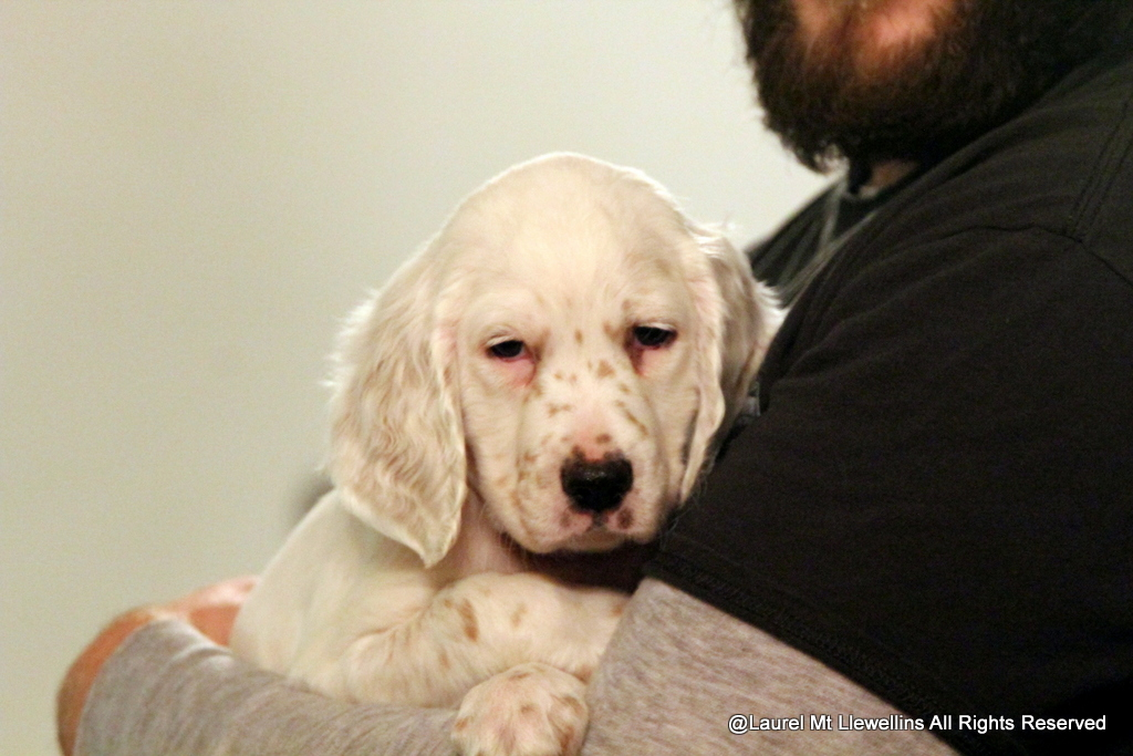 Llewellin Setter Pup, Zeph