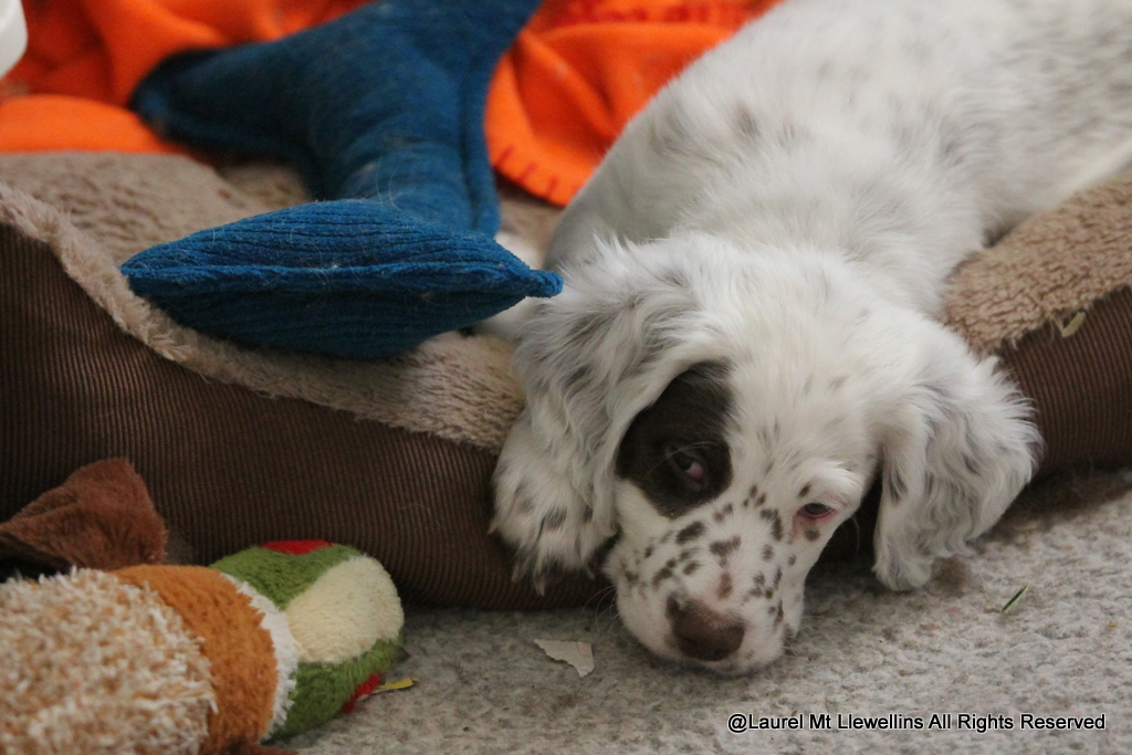 Chestnut Llewellin Setter Puppy, Orion