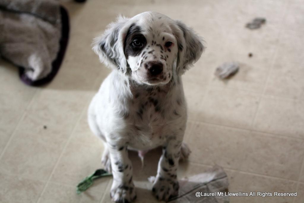 Llewellin Setter puppy, Orion