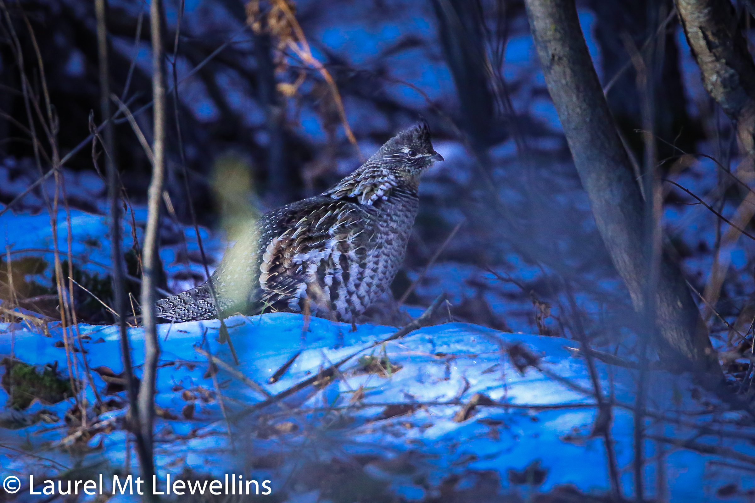 Gorgeous Ruffed Grouse in the early winter of the Northwoods