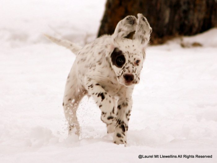 Orion, Male Llewellin Setter puppy