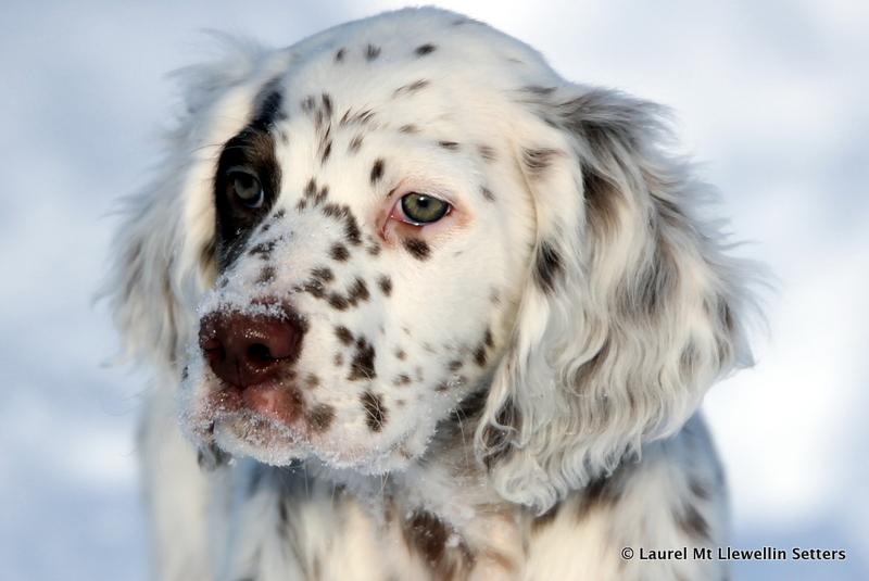 Orion - Chestnut Llewellin Setter puppy