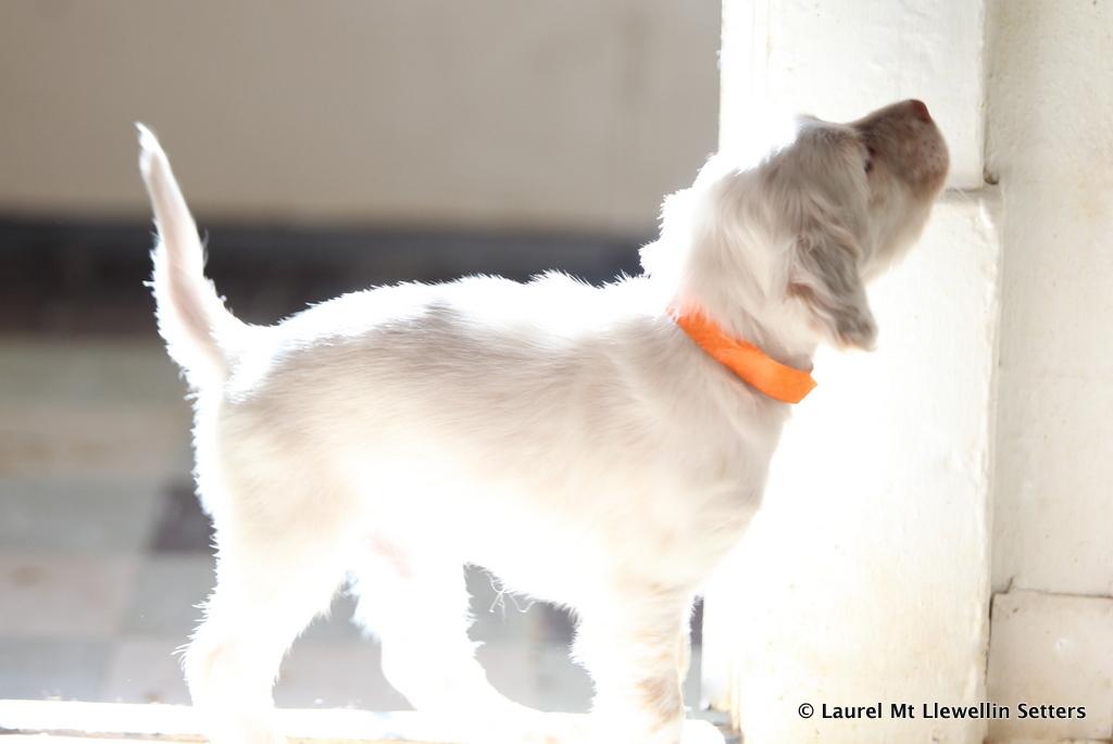 Bobwhite Puppy
