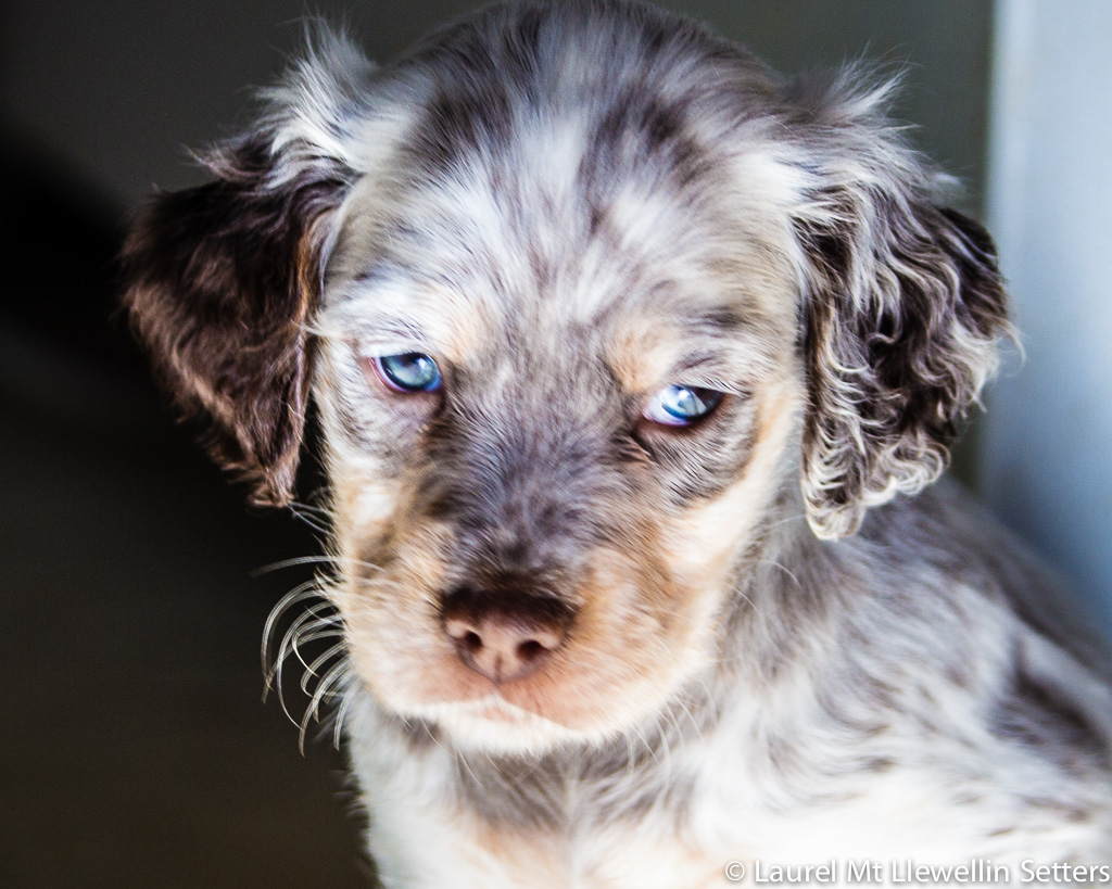 Timber, tri-chestnut male Llewellin Setter Puppy