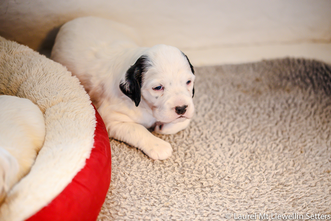 Clyde male, white/black llewellin setter puppy
