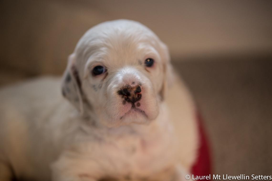 Bonnie-tri-belton llewellin setter puppy, female