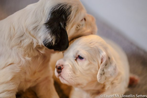 Bonnie and Clyde - Laurel Mt Llewellin Setter puppies almost 4 weeks old