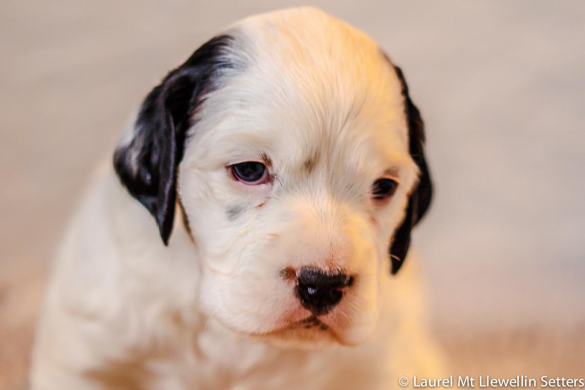 Darling Clyde, Laurel Mt. Llewellin Setter puppy