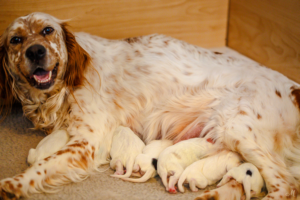Nash & Count Llewellin Setter puppies