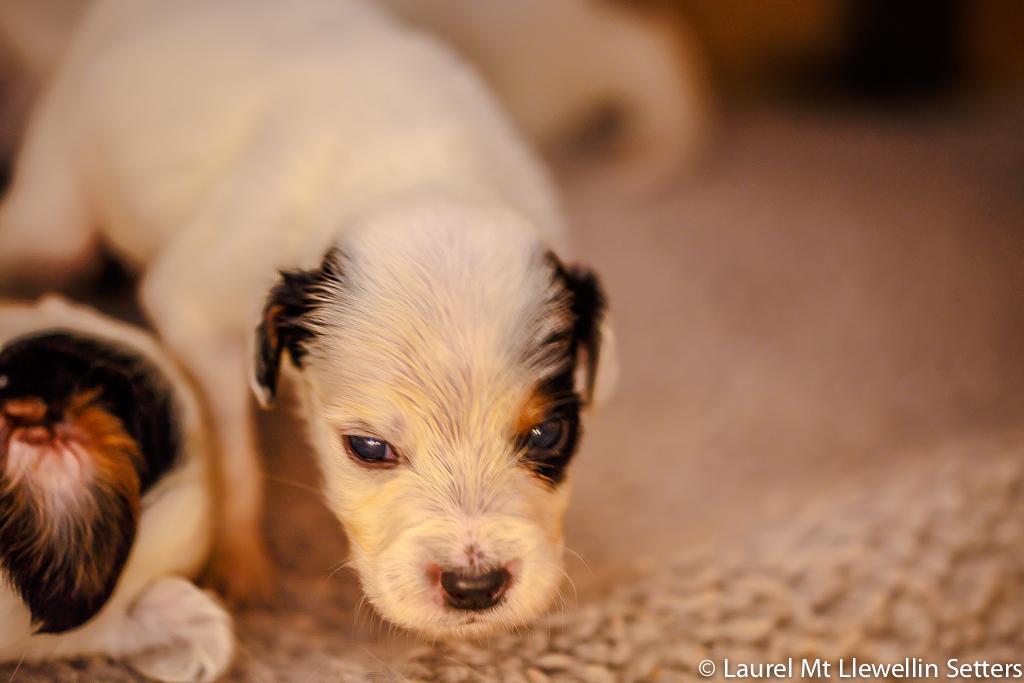 Alex-puppy (Nash x Count)
