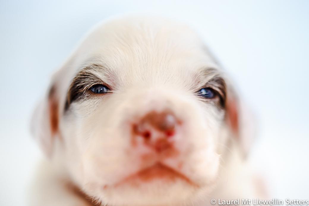 #7: Brandywine (White/Chestnut female laurel mt llewellin setter puppie